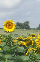 Our neighbours, the sunflowers